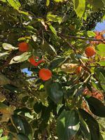 柿の実がなりました